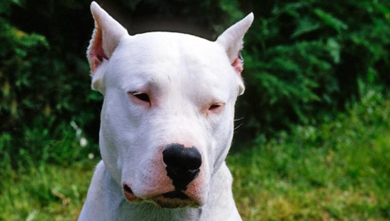Denunciato a Palermo un uomo che aveva amputato le orecchie ai suoi cani