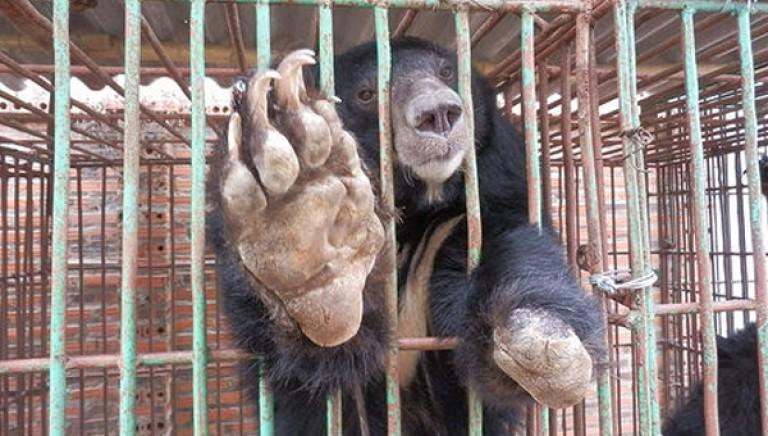 Sosteniamo l'appello di Animals Asia per la liberazione in Vietnam di 23 orsi reclusi