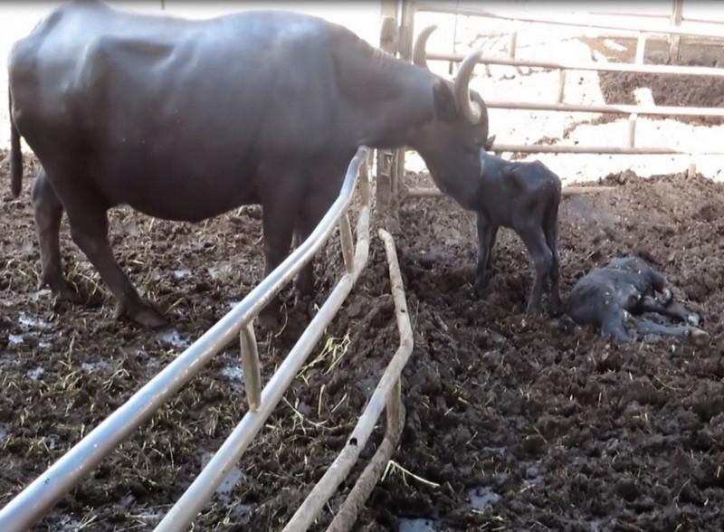 Una bufala con il suo vitellino