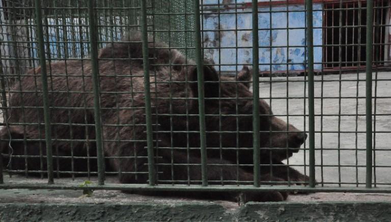 Dopo Angela, un'altra tigre e un'orsa grazie alla LAV libere dal parco di Ditellandia