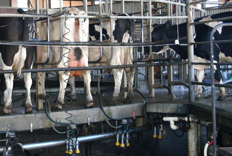 Mungiture di mucche da latte