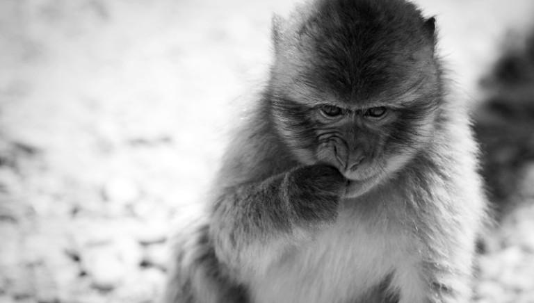 12 macachi salvati dalla vivisezione. Il sostegno della LAV