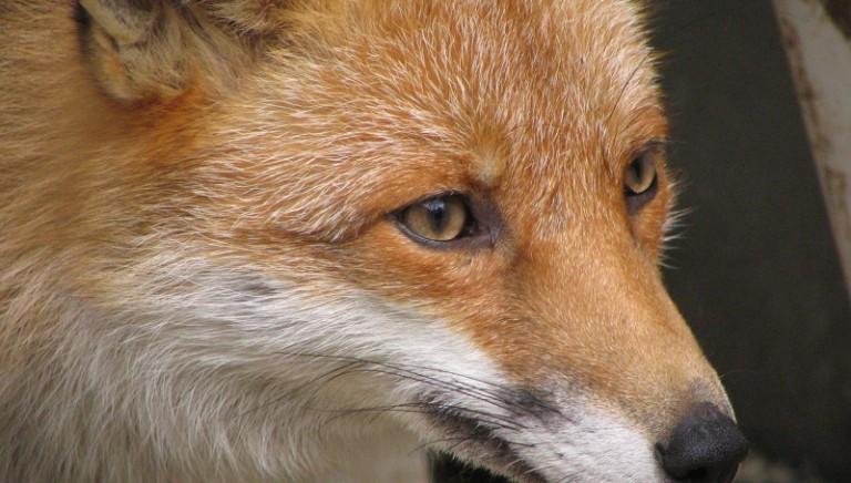 """Volpe uccisa a bastonate: ridicolo che i cacciatori si definiscano """"ambientalisti"""""""