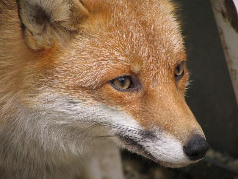 Una volpe, foto di archivio
