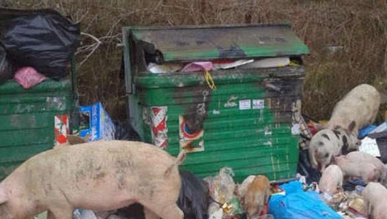 Sindaco Marino ritiri ordinanza uccisione dei maiali