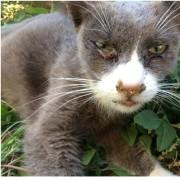 Gatto con segni di infezione alle mucose e agli occhi