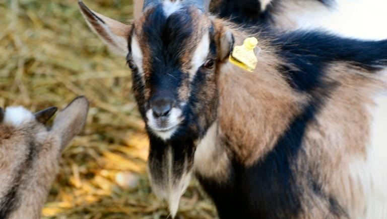 Varese: le caprette salvate da macellazione cercano casa