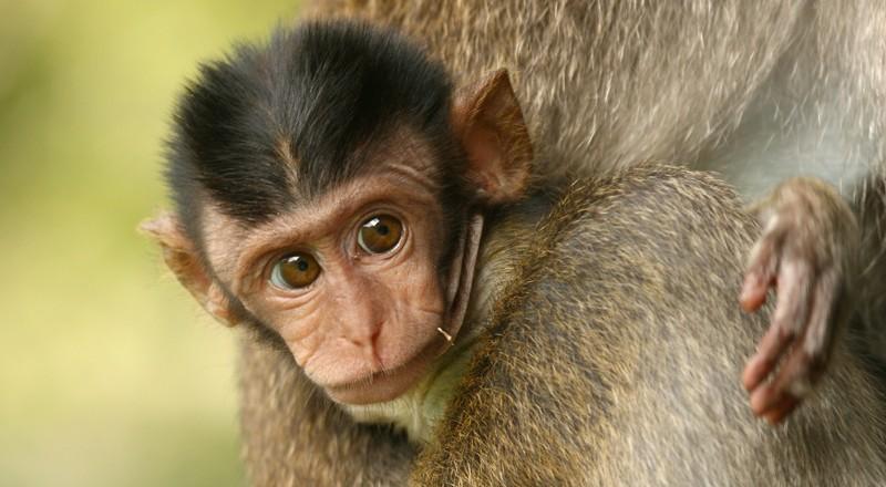 Vivisezione: in aumento scimmie catturate e destinate ai laboratori
