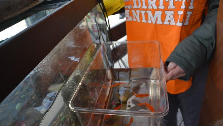 Violazione regolamento tutela animali. Pesci rossi sequestrati e affidati a noi