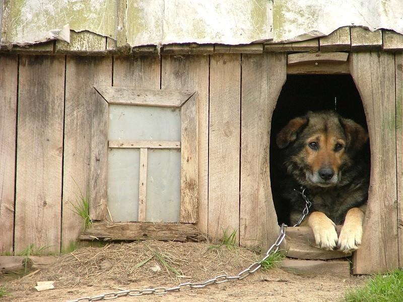 Un cane a catena