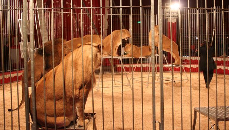 Scandalo fondi ai circhi con animali.4 interrogazioni al Ministro Franceschini