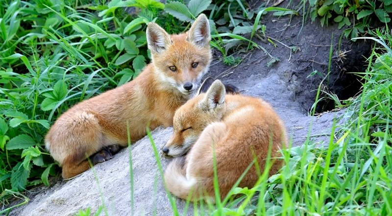 Consiglio di Stato dice NO all'abbattimento volpi nel Trevigiano