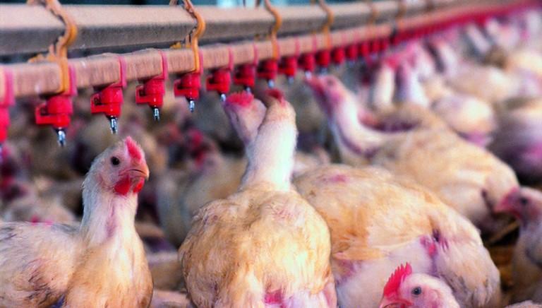 Aviaria: traffico di virus, chiesto rinvio a giudizio per 41 persone