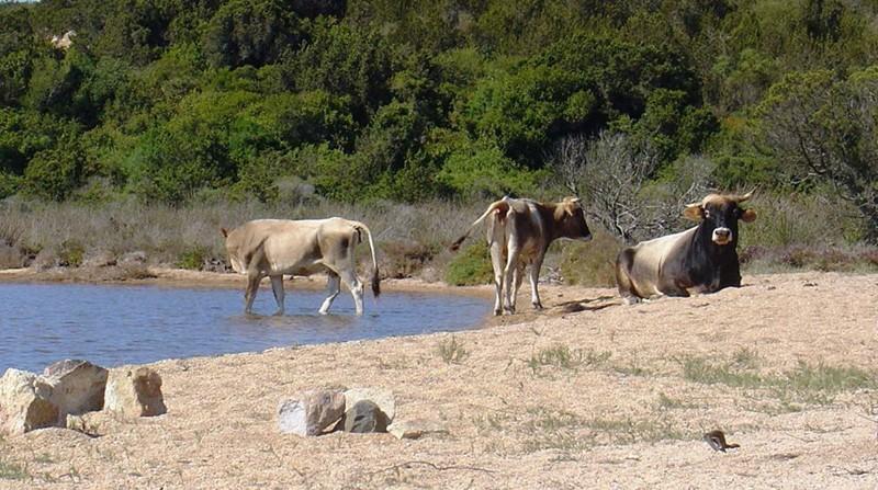Denunciamo strage bovini dopo Ordinanza Sindaco Palau