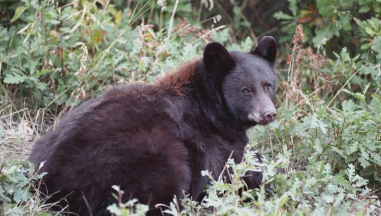 Nuovo incontro orso-uomo.Provincia di Trento informi su corretta convivenza