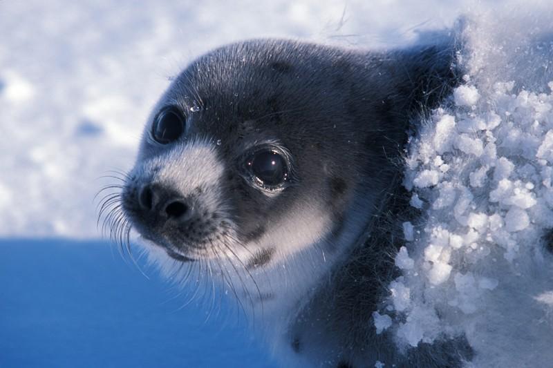Salviamo le foche. Oggi un'altra battaglia vinta all'UE