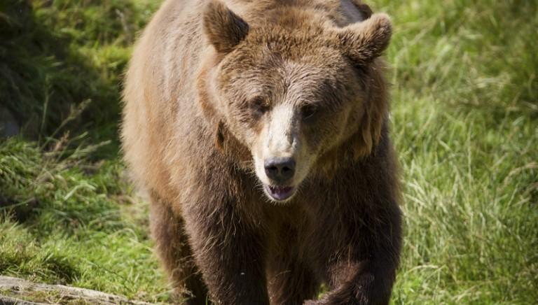 Trento:orso di nuovo vittima di azioni emotive. Ordinanza illegittima