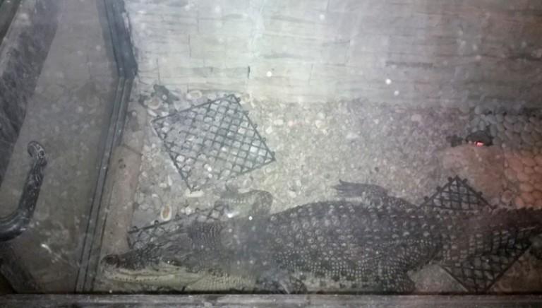 Finalmente liberi i due caimani esposti per anni in un ristorante nel bolognese