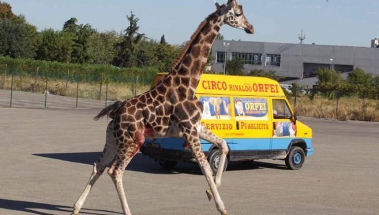 Giraffa fugge dal circo e muore.LAV parte civile al processo