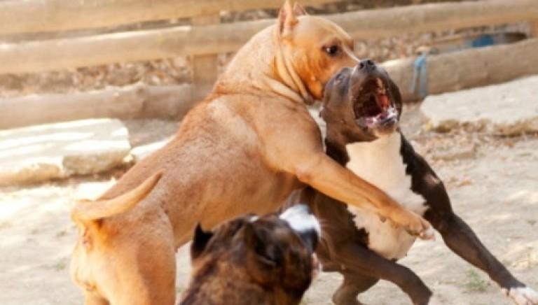 Combattimenti tra cani a Napoli. Una realtà criminale preoccupante