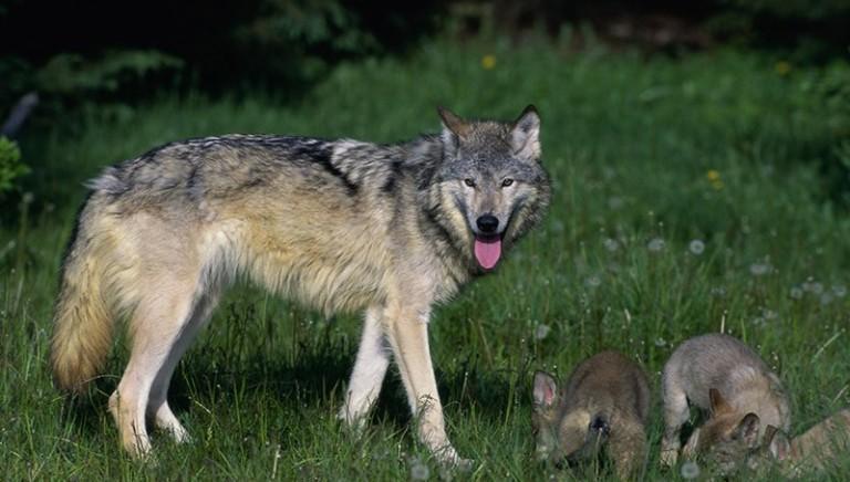 Maremma: lupi in pericolo, fuorilegge proposta di abbattimento