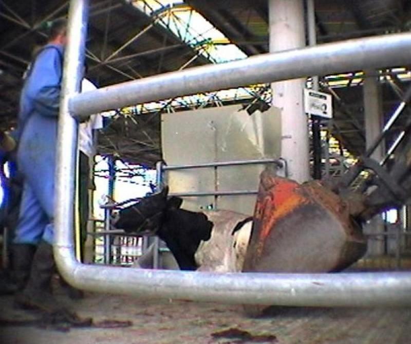 La mucca Doris nelle immagini dell'investigazione