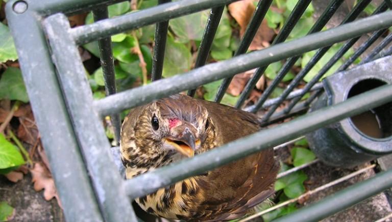 Finalmente Senato approva divieto di cattura degli uccelli da richiamo