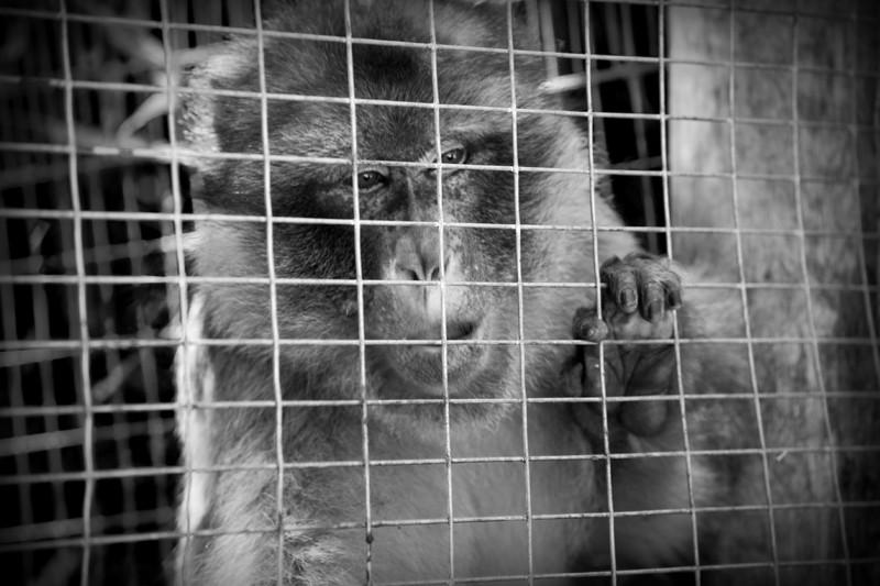 Jane Goodall: stop al traffico di scimmie da vivisezione nelle Mauritius
