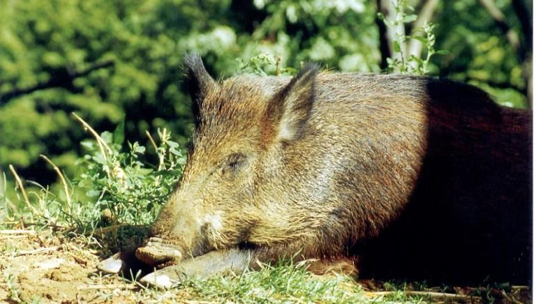 Animali selvatici: fermiamo il nuovo attacco del Senatore Vaccari