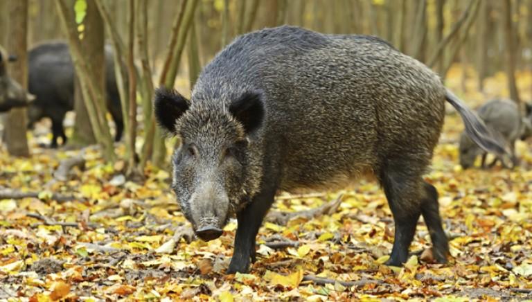 Firmate subito per fermare la caccia selvaggia contro i cinghiali