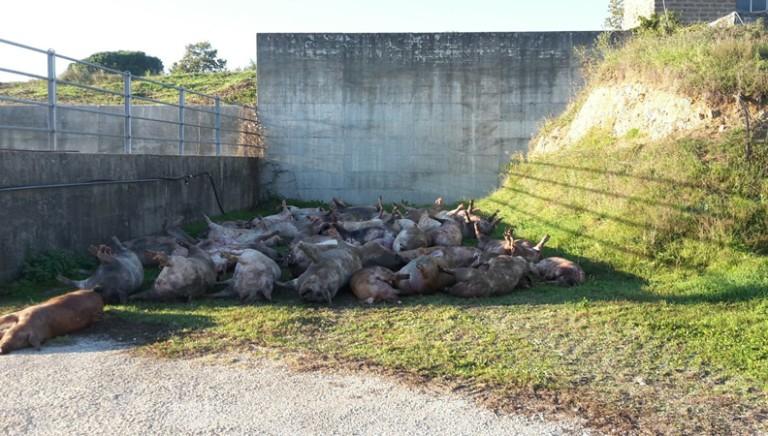 Strage di maiali:33 soffocati su tir dalla Spagna.Basta viaggi della morte