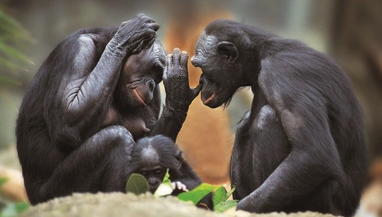 USA: stop a ricerca su scimpanzé al National Institutes Of Health