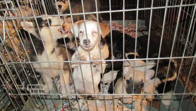 Udine: condannati sette trafficanti di cuccioli