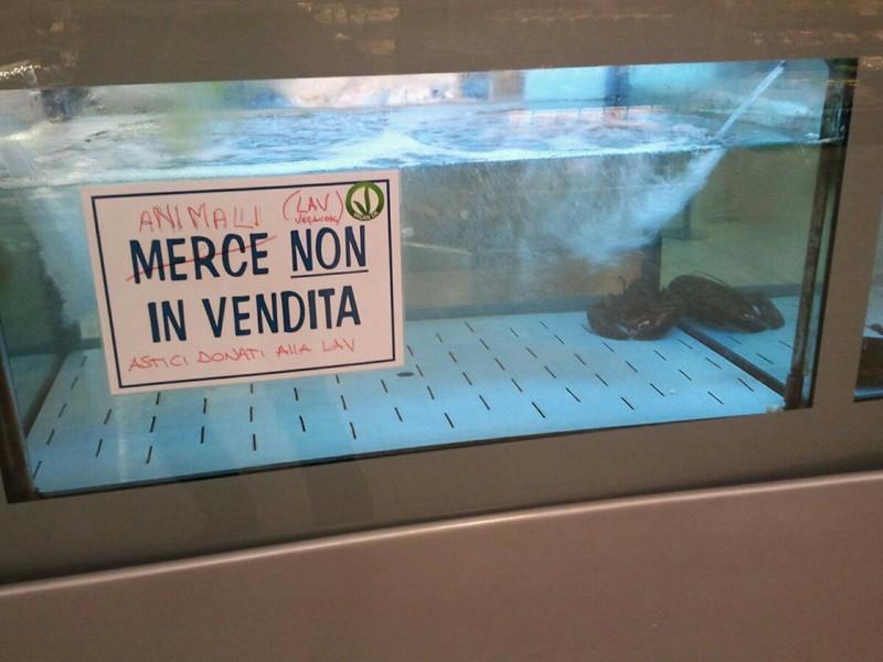 Perugia: astici vivi salvati dalla vendita. Oggi sono stati trasferiti