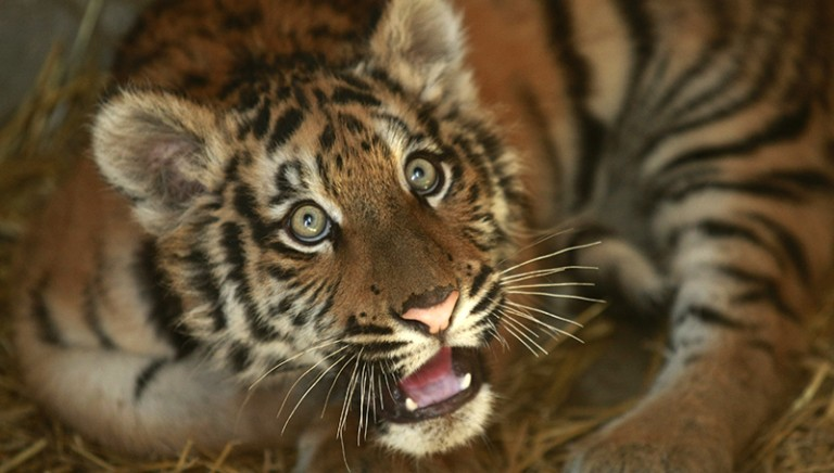 Tigre Angela: confisca definitiva. Sarà trasferita in un Santuario africano