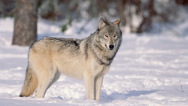 Lupi e cani randagi in pericolo. L'Italia regredisce di 50 anni