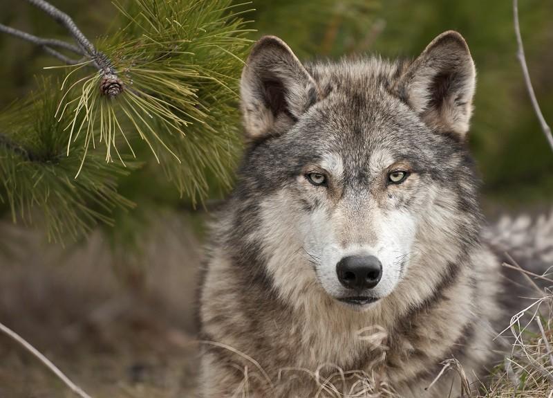 Se per salvare i lupi Galletti vuol fare uccidere un po' di lupi (e di cani)