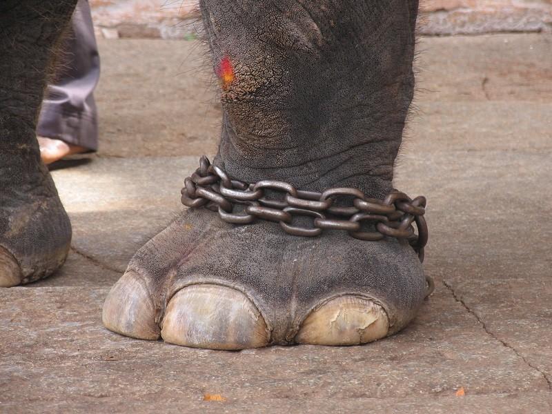 Zampa di elefante tenuto a catena, in una foto di repertorio