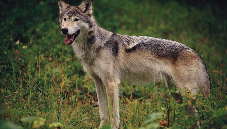 I nostri lupi non si abbattono: conferenza stampa LAV