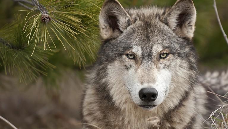 Lupi, Ministro Galletti ascolti anche associazioni tutela animali