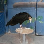 L?avvoltoio testa gialla, morto a dicembre 2012