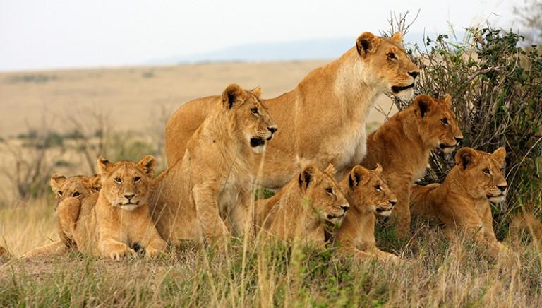 Conferenza delle Parti CITES: per l'Italia massima protezione dei leoni africani