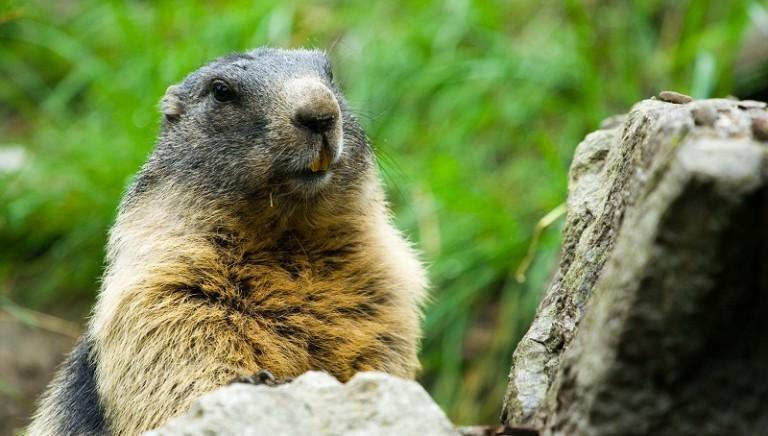 La Provincia di Bolzano, con le marmotte caccerà anche i turisti
