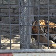2013 - Tigre