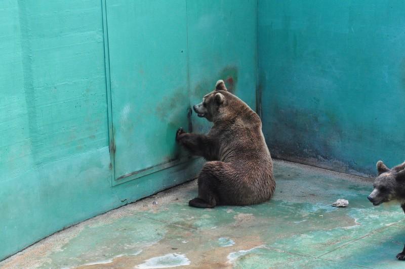 2015 - Orso bruno che batte ripetutamente sulla porta della zona coperta del recinto