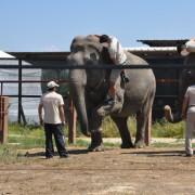 2015 - Elefanti nella 'sessione didattica' in comportamenti non naturali della specie