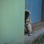 2015 - Gibbone che tenta di ripararsi dalla calura estiva in una delle poche zone d'ombra del recinto