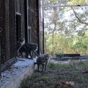 I macachi esplorano la nuova casa, nel Centro di recupero di Semproniano (GR)
