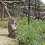 Uno dei macachi esplora la nuova casa, nel Centro di recupero di Semproniano (GR)