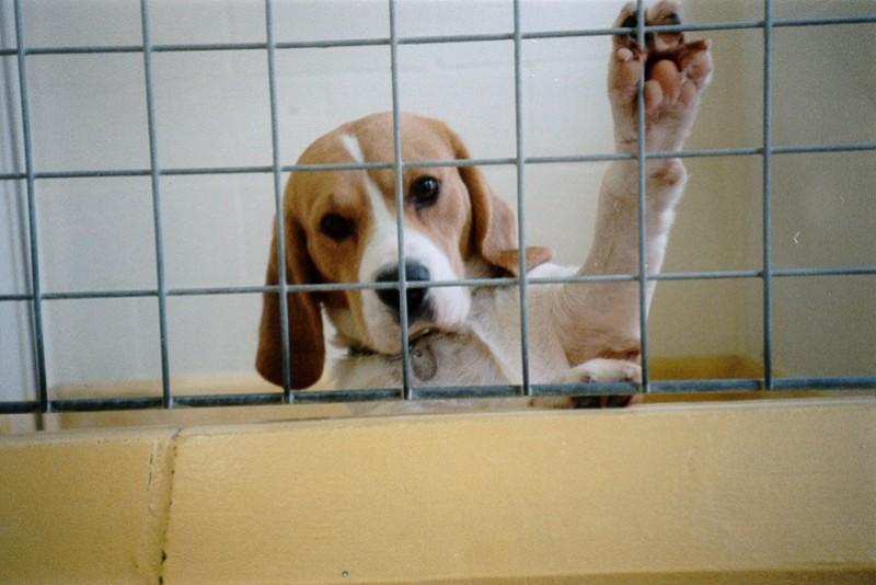 Beagle in uno stabulario (C) BUAV